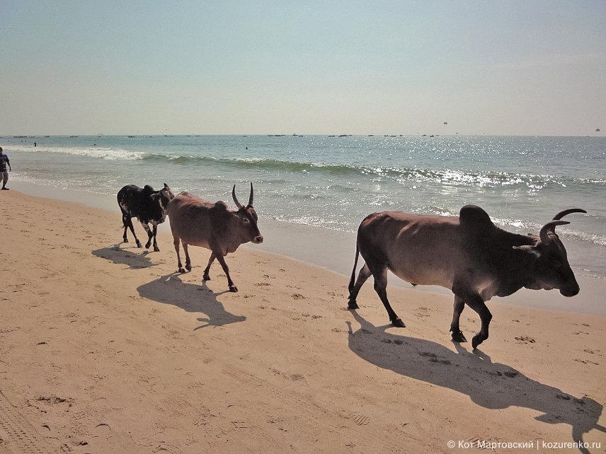 Стадо коров на пляже Калангут