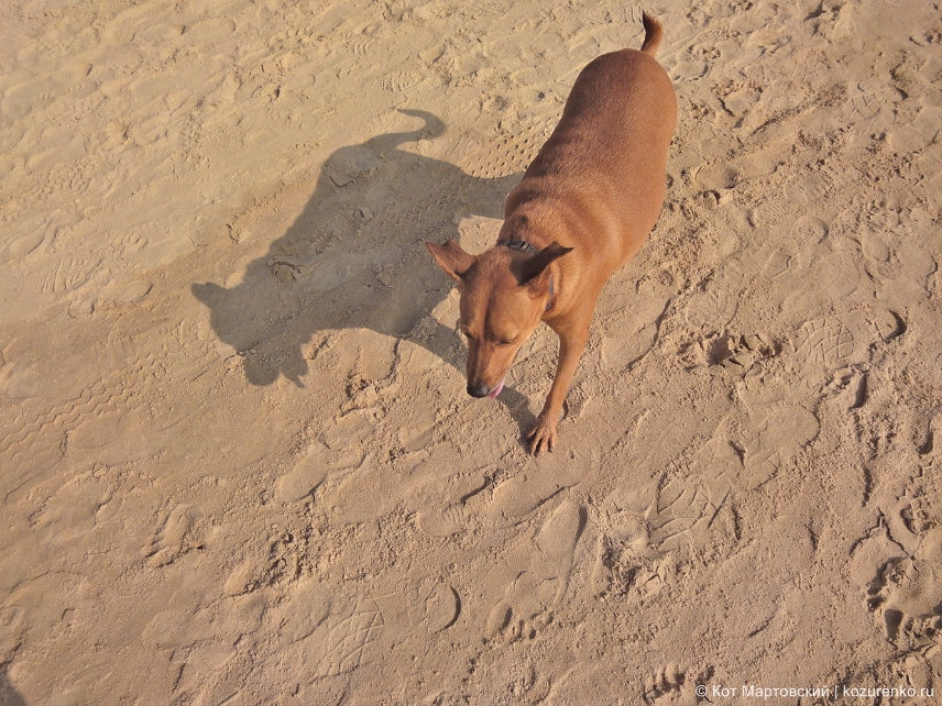 Собака на пляже Калангут