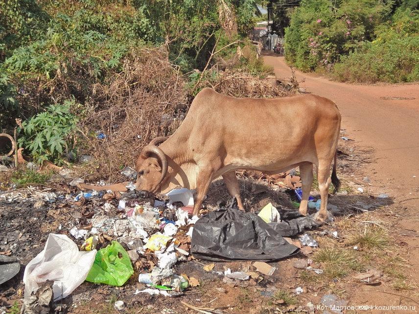 Корова в ГОА есть мусор