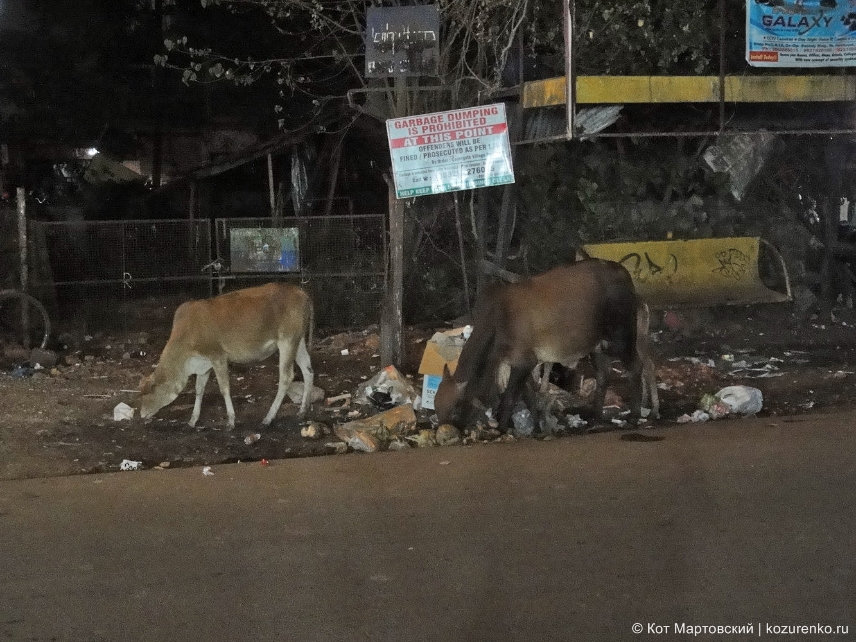 Коровы едят мусор в ГОА