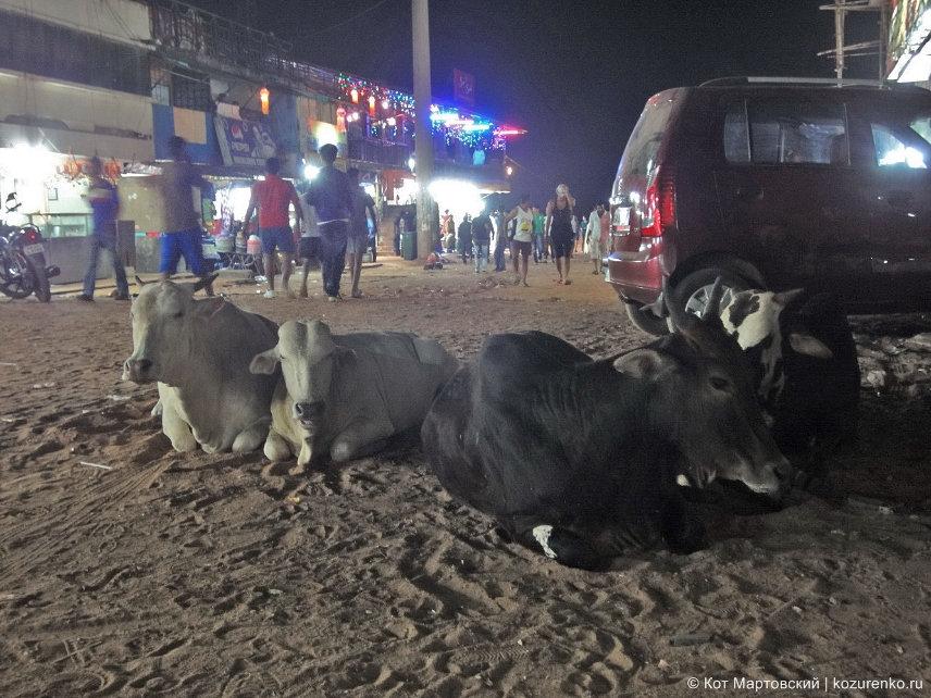 Коровы в Индии, ГОА