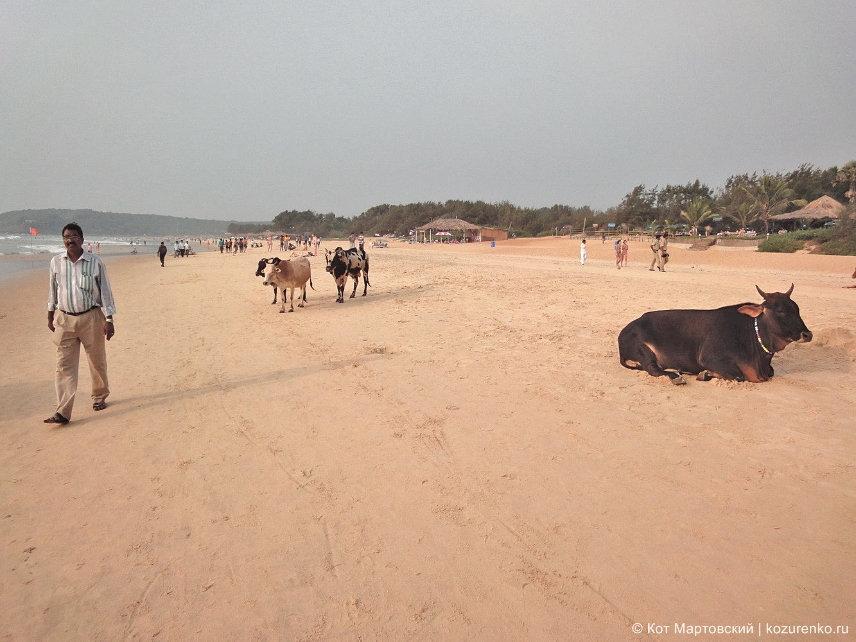 Коровы на пляже в ГОА