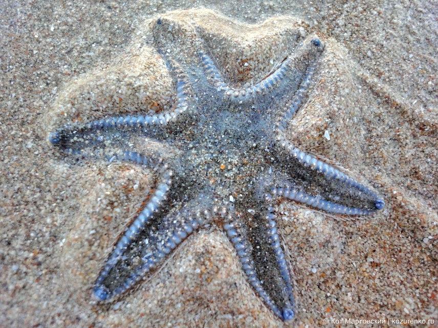 Морская звезда на пляже Бага