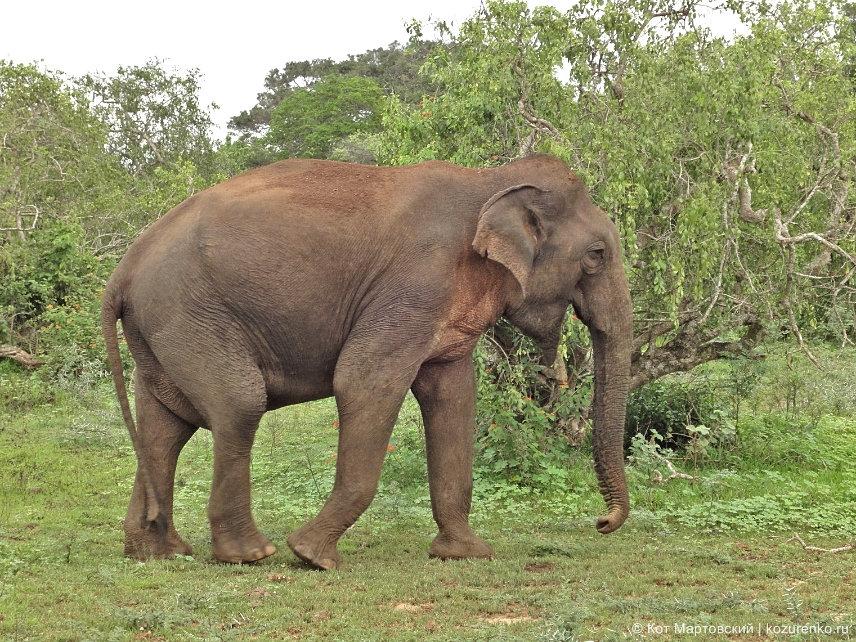 Слон на Шри-Ланке