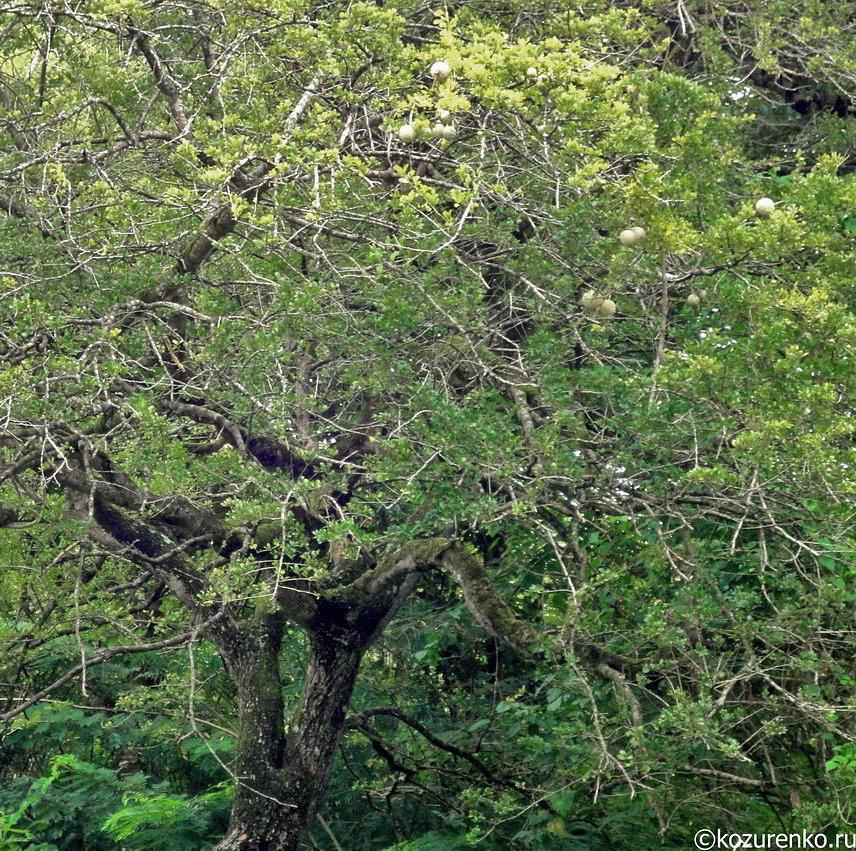 Дерево Woodapple