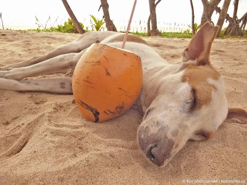 Собака нажралась в стельку кокосового молока