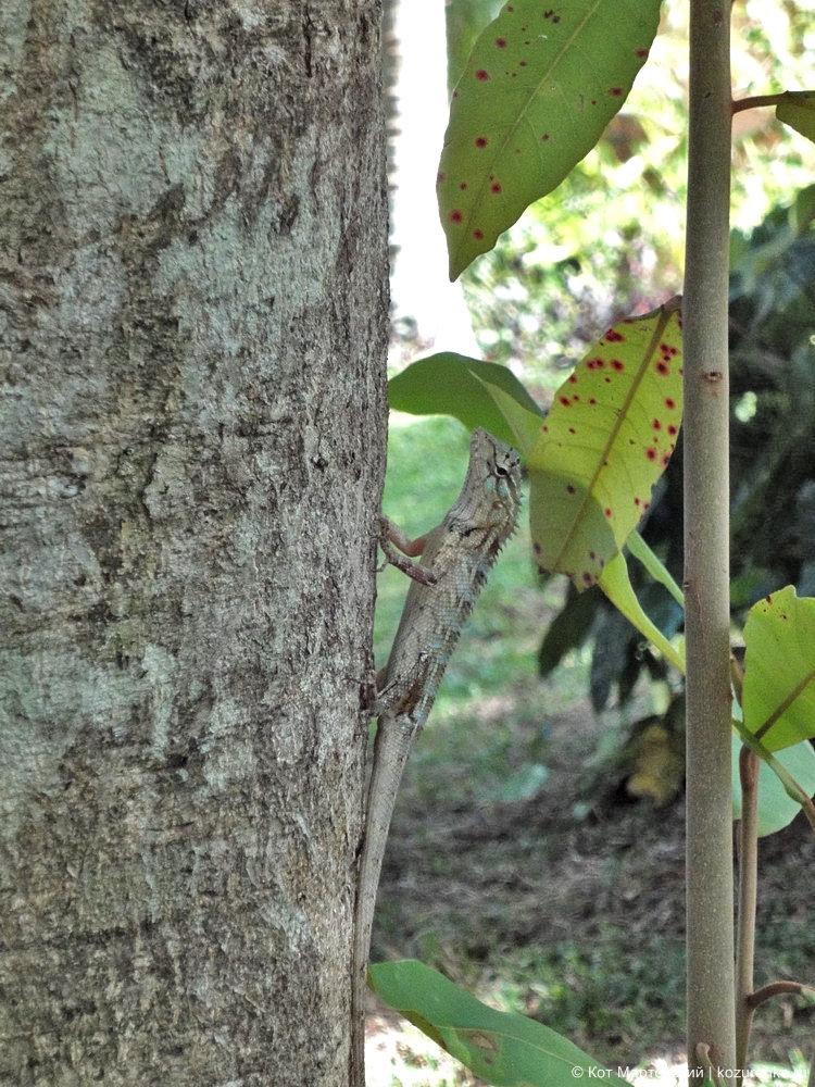 Шри-Ланка: ящерица на дереве