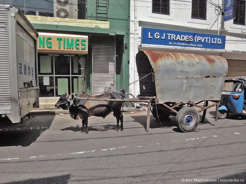 Коров запрягают в повозки
