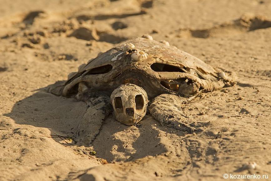 Скелет морской черепахи