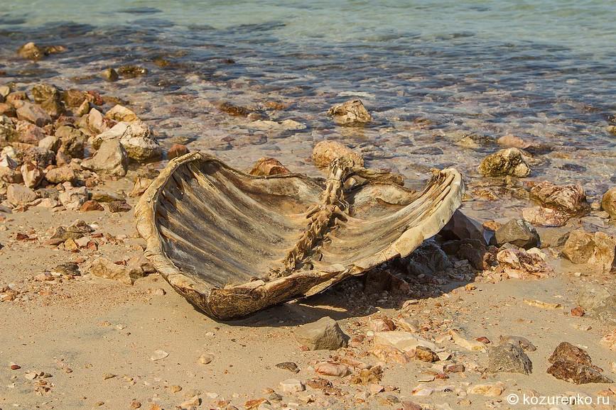Панцирь здоровенной морской черепахи