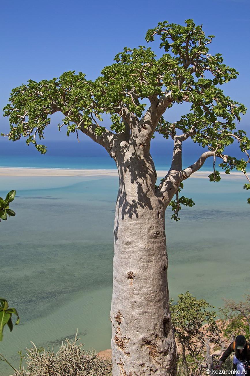 Огуречное дерево