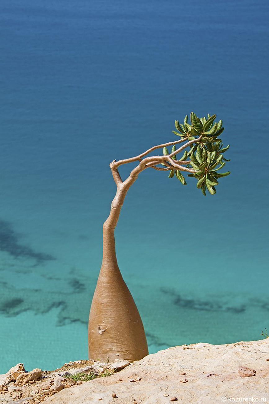 Молодое бутылочное дерево в горах над морем
