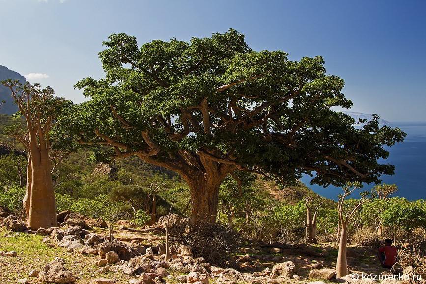 Просто большое дерево