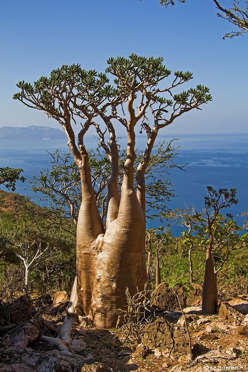 Старое бутылочное дерево