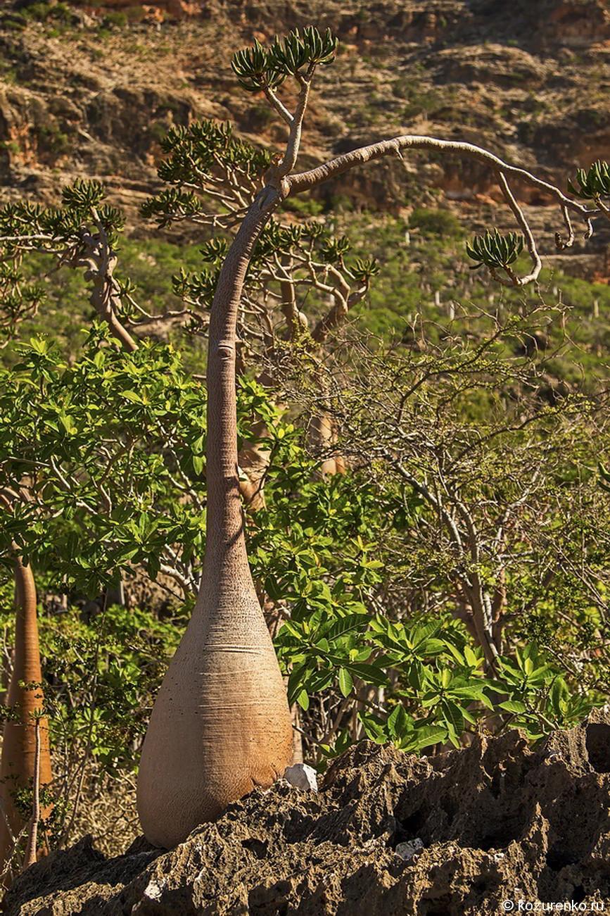 Молодое бутылочное дерево