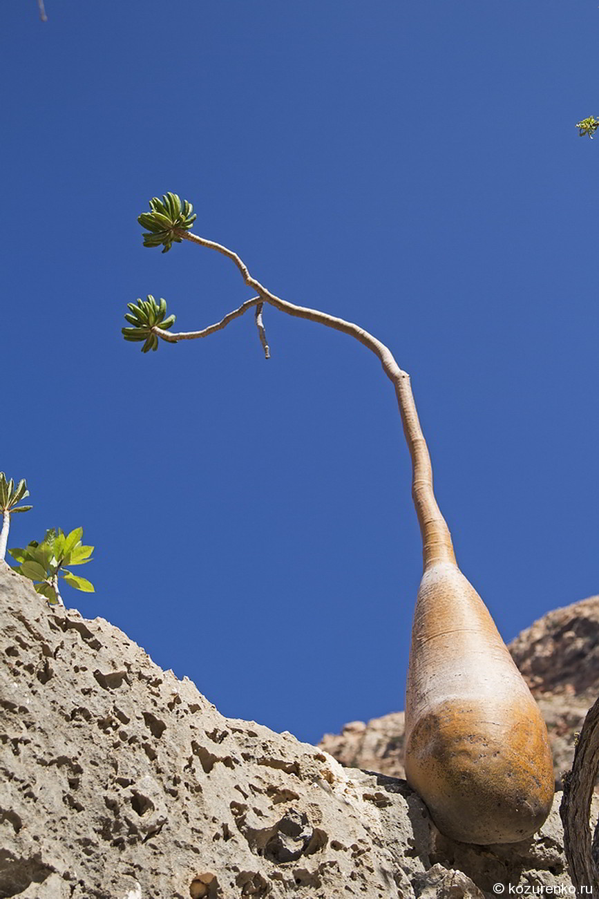 Маленькое бутылочное дерево
