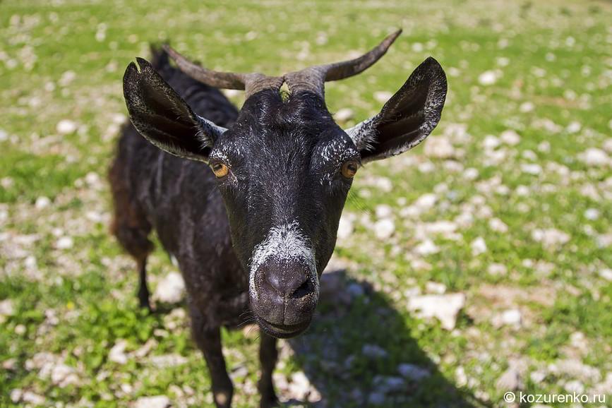 Любопытная морда козы