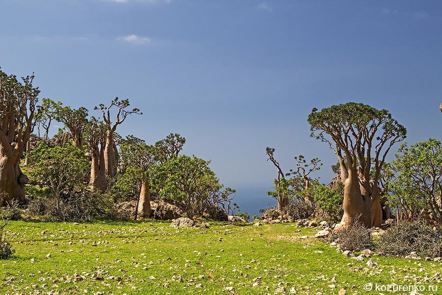 Бутылочные деревья высоко в горах