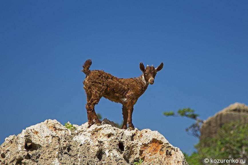 Маленький козленок на камне в горах