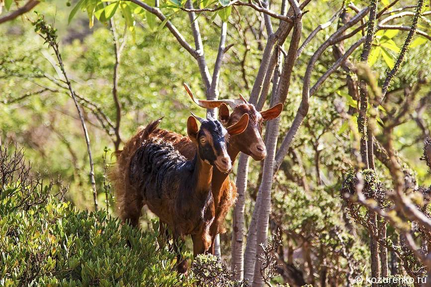 Лесные козы