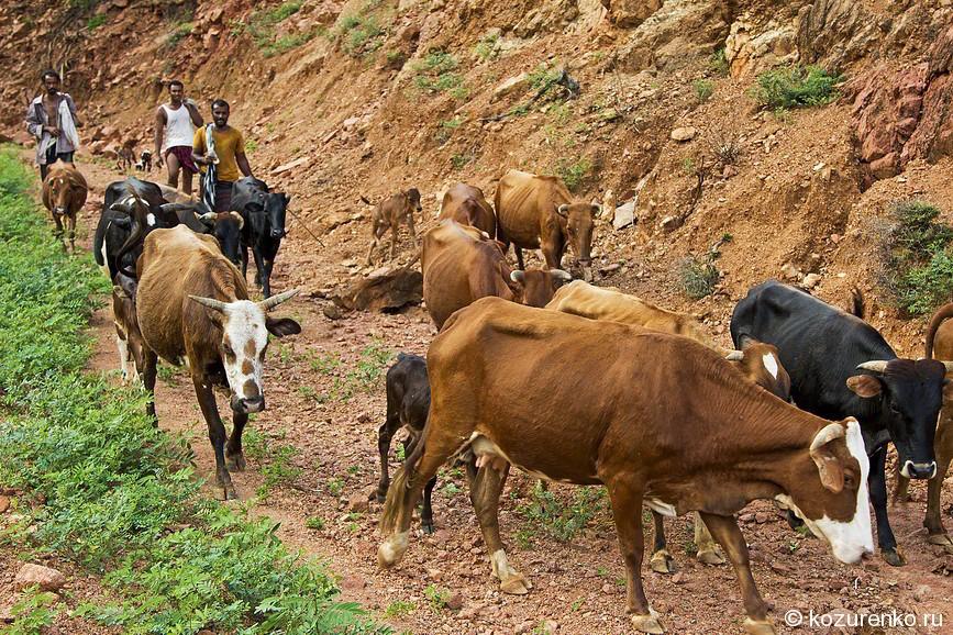 Стадо коров в горах