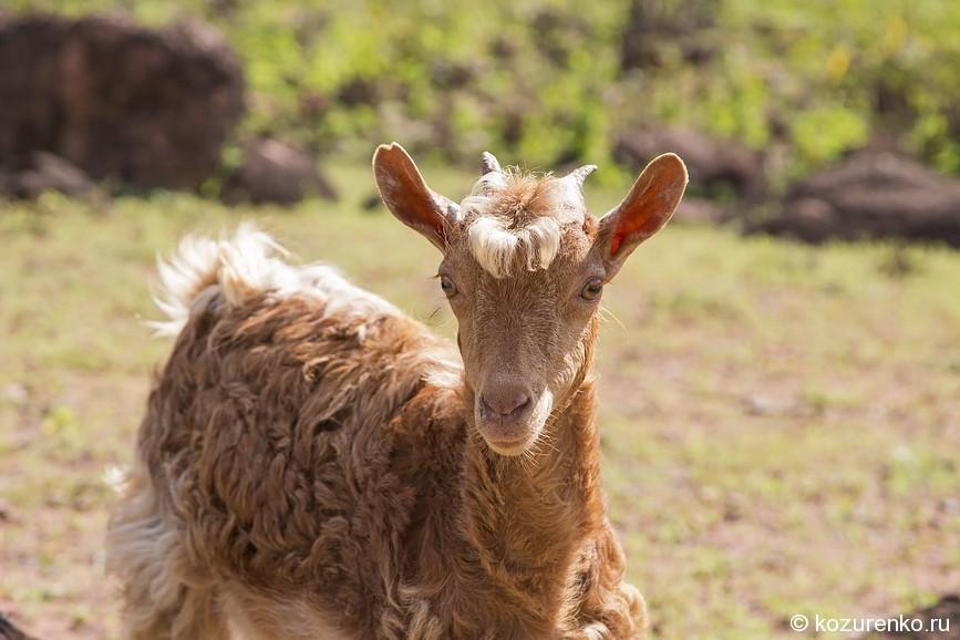Модная коза