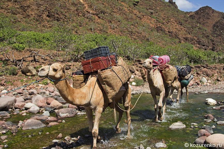 Наш караван из грузовых верблюдов