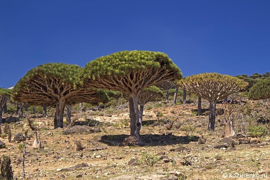 Лес драконовых деревьев в горах
