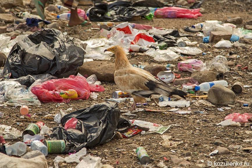Стервятник на мусорной свалке