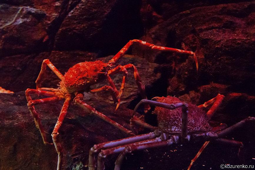 Крабы-пауки - самые большие членистоногие на Земле. Одной ноги можно наесться до отвала