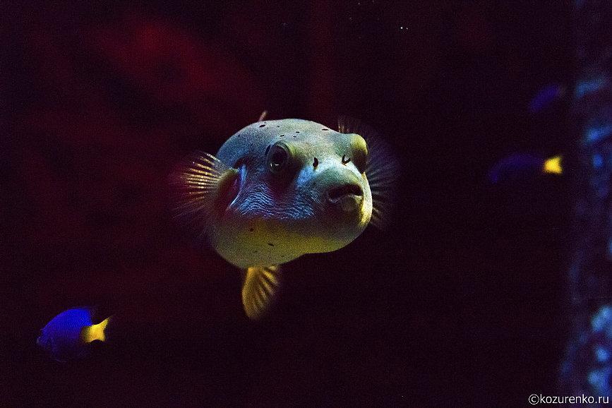 Пухлая пучеглазая рыба