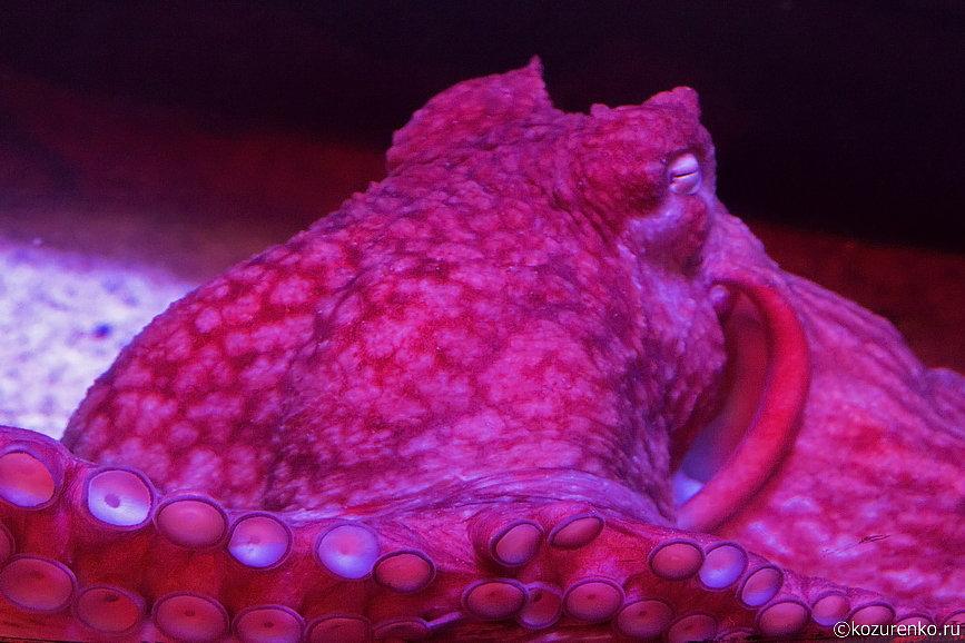 Осьминог или каракатица