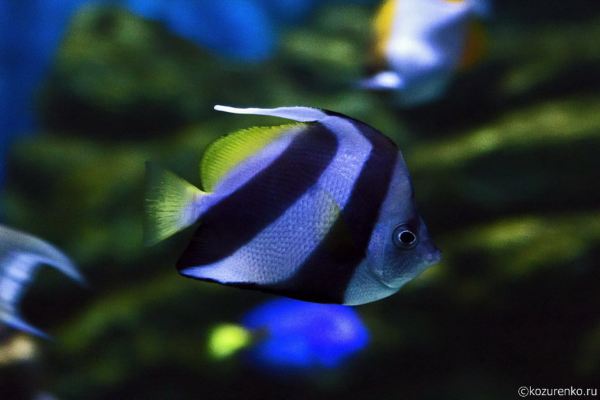 Небольшая полосатая рыбка размером с компакт-диск