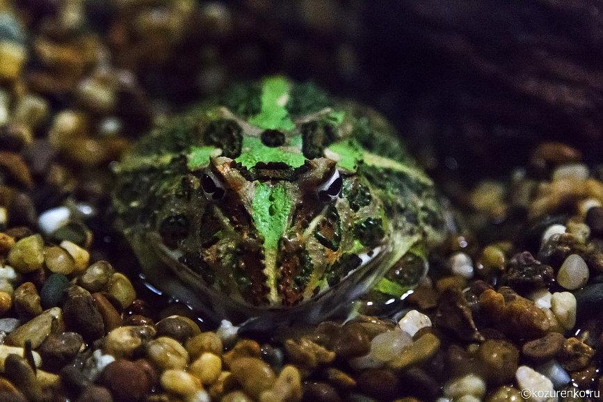 Жирная серьезная жаба