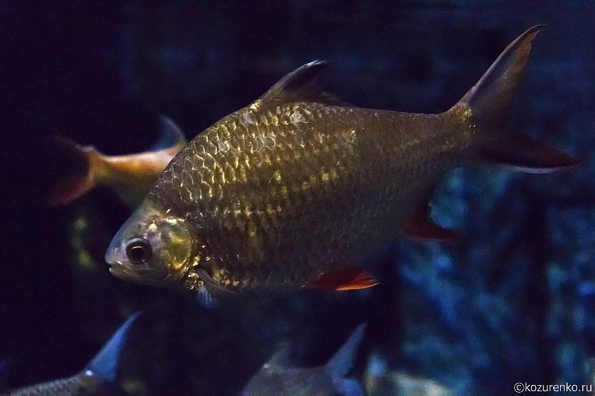 Рыба, похожая на обычного карпа
