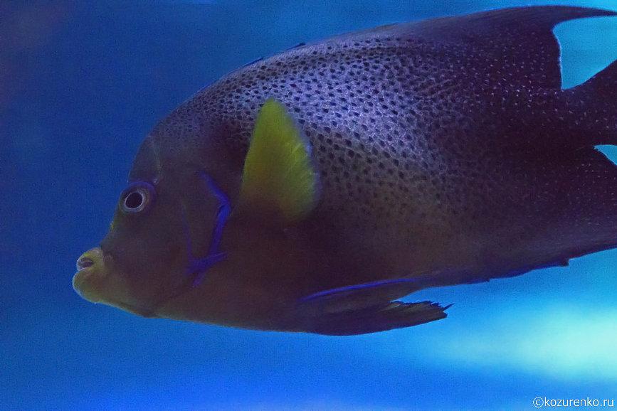 Пятнистая губастая рыба
