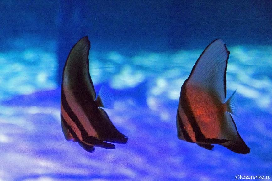 Рыбы, плавающие парами