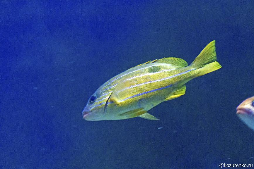 Желтая полосатая рыба
