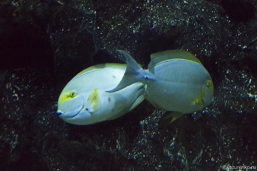 Овальные плоские рыбы